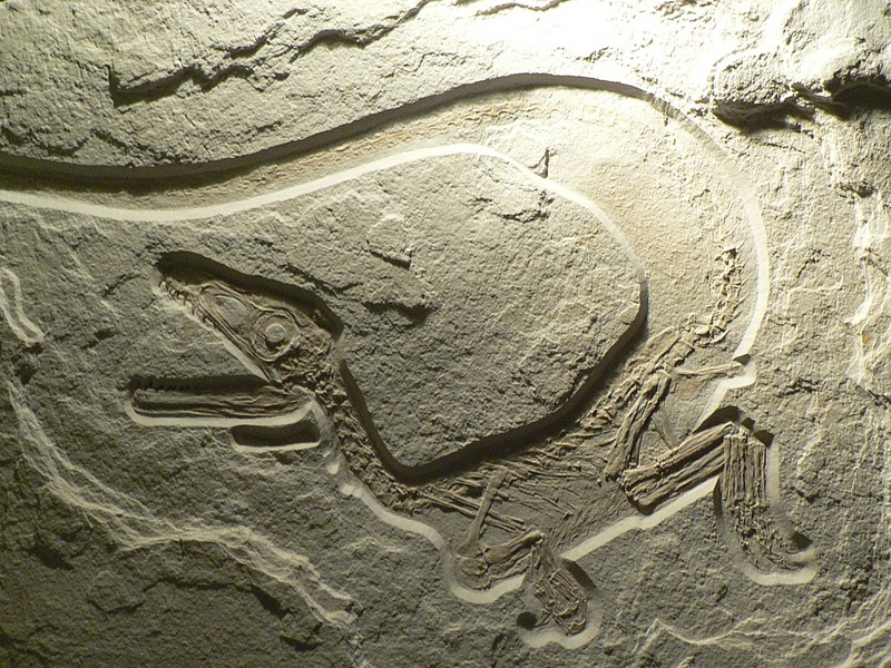 Newly Discovered Dinosaur Implies Greater Prevalence of Feathers [AMNH 2012-07-02]; DISPLAY FULL IMAGE.