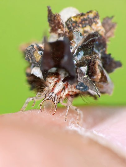 Insects and spiders that have mastered the art of disguise: Lacewing larvae [Telegraph 2012-07-04]; Image ONLY