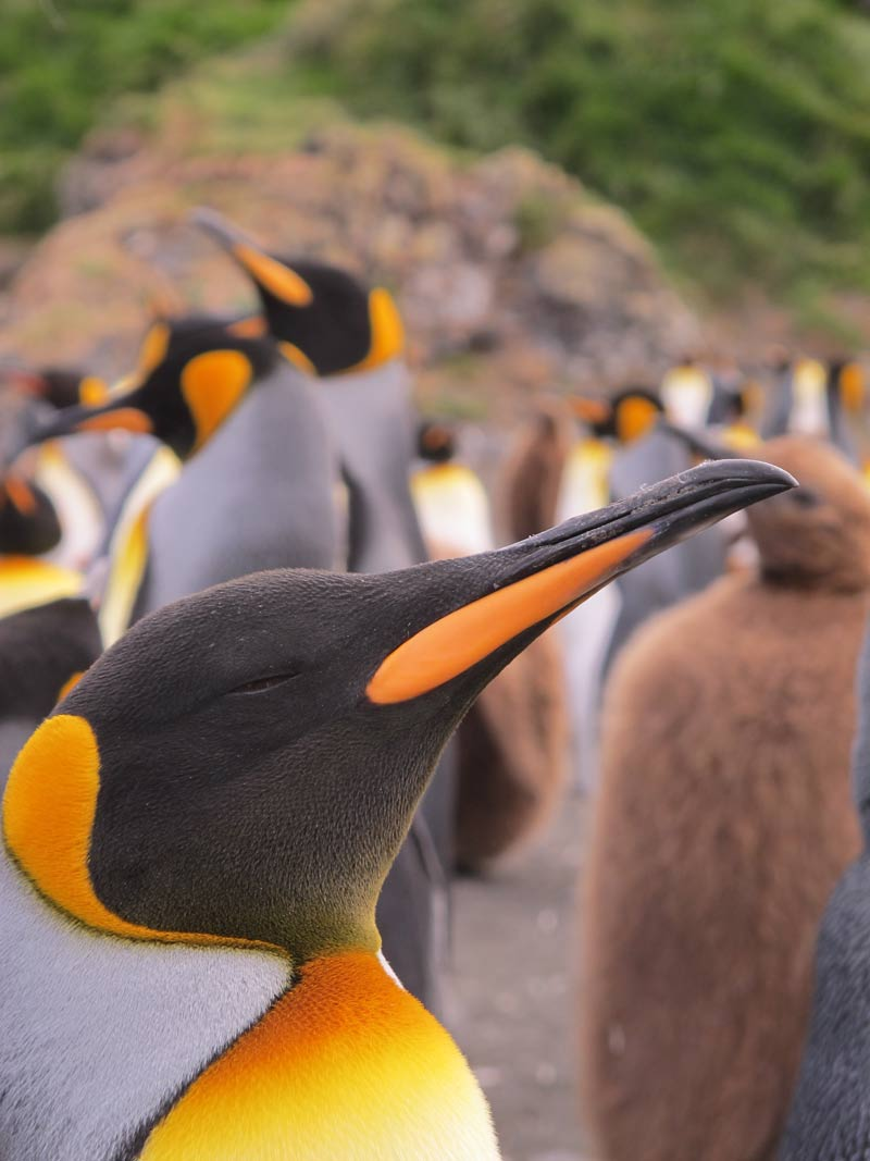 In Photos: The King Penguins of Possession Island (Aptenodytes patagonicus) [LiveScience 2012-07-10]; Image ONLY