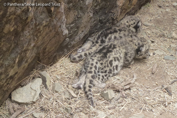 Snow Leopard Moms & Cubs Captured in First-Ever Video [LiveScience 2012-07-13]; Image ONLY