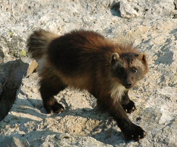 Climate Change Could Melt Wolverines' Snowy 'Refrigerators' [LiveScience 2012-07-13]; Image ONLY