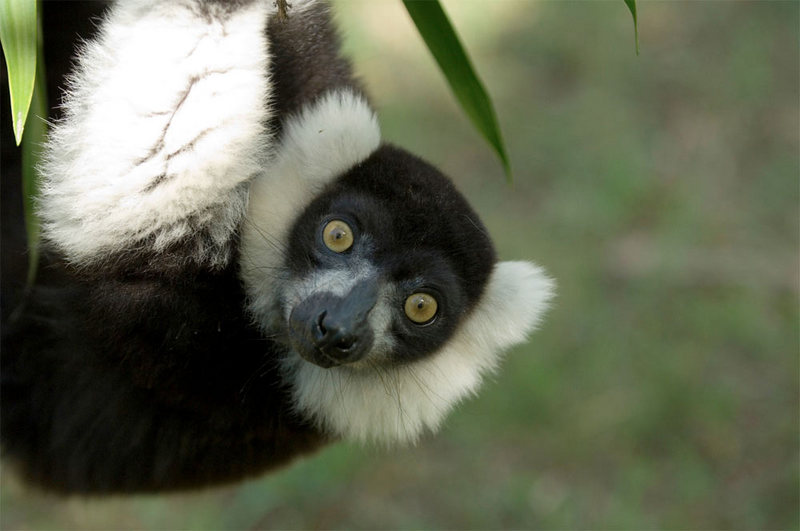 Lemurs Named World's Most Endangered Mammals [LiveScience 2012-07-13]; DISPLAY FULL IMAGE.