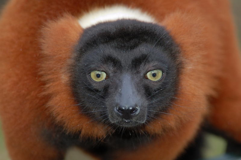 Wild Madagascar: Photos Reveal Island's Amazing Lemurs - Red Ruffed Lemur (Varecia rubra) [LiveScience 2012-07-13]; DISPLAY FULL IMAGE.