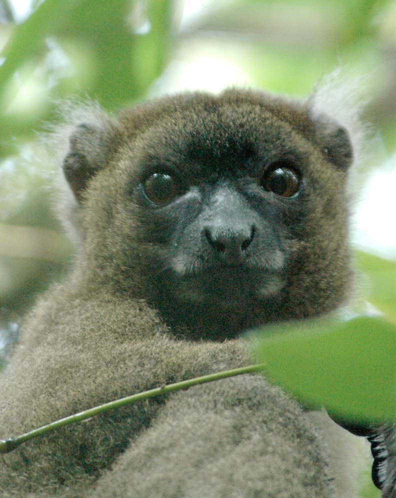 Wild Madagascar: Photos Reveal Island's Amazing Lemurs - Greater Bamboo Lemur (Prolemur simus) [LiveScience 2012-07-13]; Image ONLY