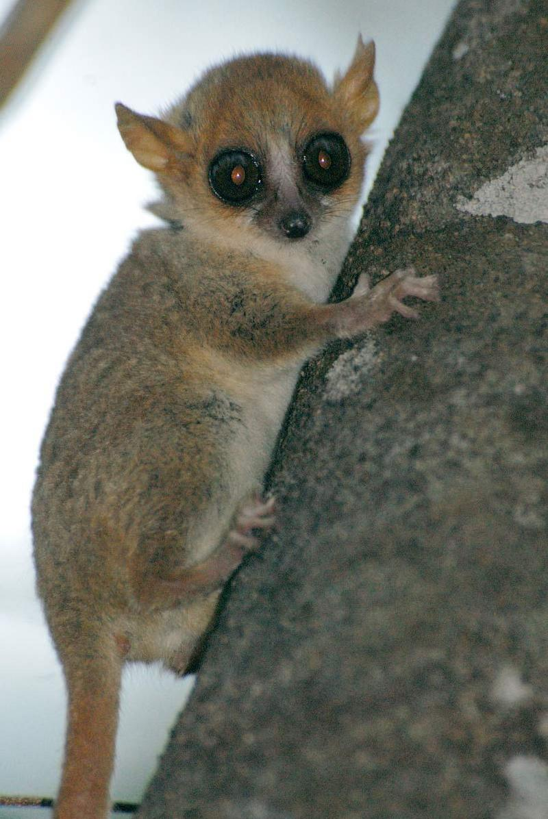Wild Madagascar: Photos Reveal Island's Amazing Lemurs - Madame Berthe's mouse lemur (Microcebus berthae) [LiveScience 2012-07-13]; DISPLAY FULL IMAGE.