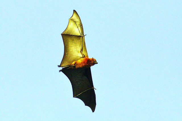 Pemba flying fox (Pteropus voeltzkowi); Image ONLY