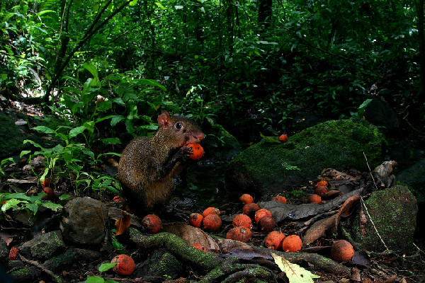 Thieving Rodents Explain Tree Survival Mystery [LiveScience 2012-07-16]; Image ONLY