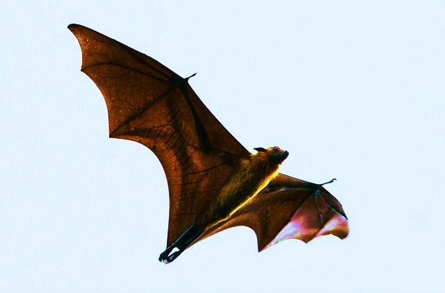 Indian flying fox (Pteropus giganteus); Image ONLY