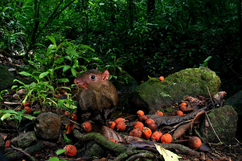 Rodent Robbers Good for Tropical Trees [ScienceDaily 2012-07-16]; Image ONLY