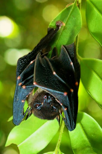 Spotted-winged fruit bat (Balionycteris maculata); Image ONLY