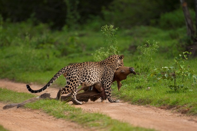 Dramatic Hunting Leopard Caught on Camera [LiveScience 2012-07-19]; DISPLAY FULL IMAGE.