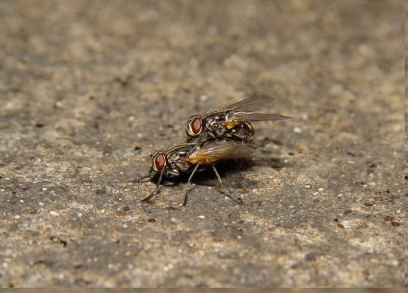 Loud Sex Can Be Deadly for Flies [LiveScience 2012-07-23]; DISPLAY FULL IMAGE.