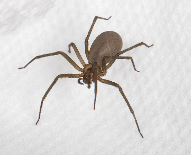 Creepy, Crawly & Incredible: Photos of Spiders - Brown Recluse Spider (Loxosceles reclusa) [LiveScience 2012-07-24]; DISPLAY FULL IMAGE.