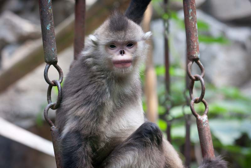 Image Gallery: Sneezin' Snub-Nosed Monkeys [LiveScience 2012-07-26]; Image ONLY