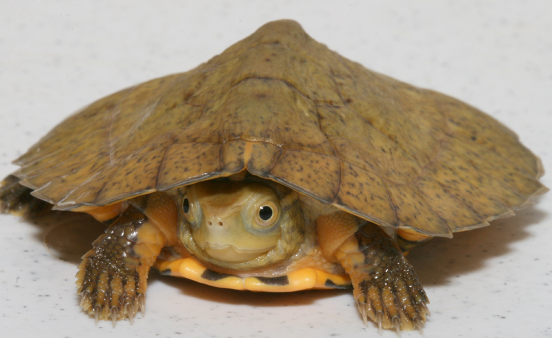 Photo: Host of Tiny Turtles Born at Aquarium - Four-eyed Turtle (Sacalia quadriocellata) [LiveScience 2012-07-26]; Image ONLY