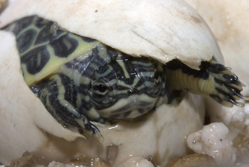 Photo: Host of Tiny Turtles Born at Aquarium - Chicken Turtle (Deirochelys reticularia) [LiveScience 2012-07-26]; Image ONLY