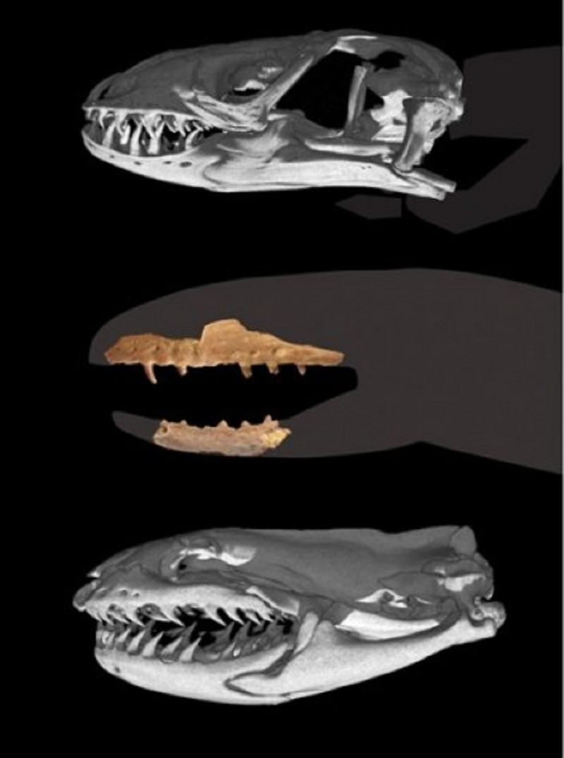 Transitional Snake with Lizard Head Sheds Light on Origin [Nature&Planet 2012-07-26]; Image ONLY