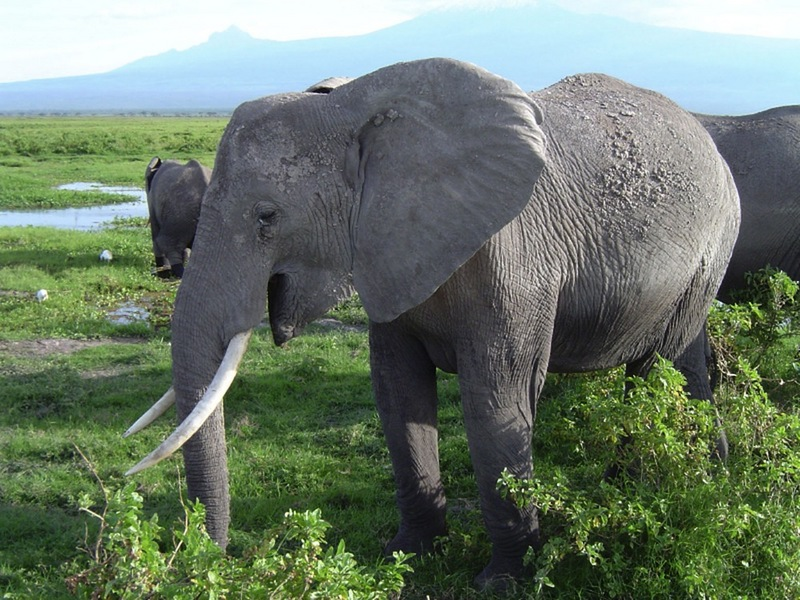 Secret to Elephants' Thundering Calls Discovered  [LiveScience 2012-08-02]; DISPLAY FULL IMAGE.