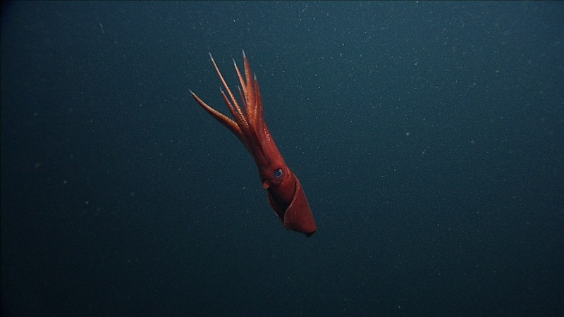 Deep-Sea Squid Ditches Wriggling Arms to Escape Predators  [LiveScience 2012-08-02]; DISPLAY FULL IMAGE.
