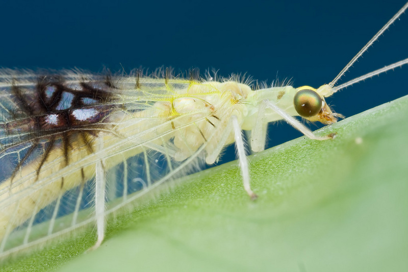 New Bug Species Found in Photos Online [LiveScience 2012-08-08]; DISPLAY FULL IMAGE.