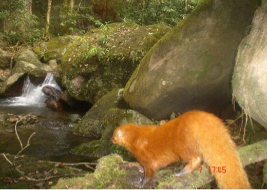 Rare Ginger Mongoose Caught on Camera [LiveScience 2012-08-13]; Image ONLY