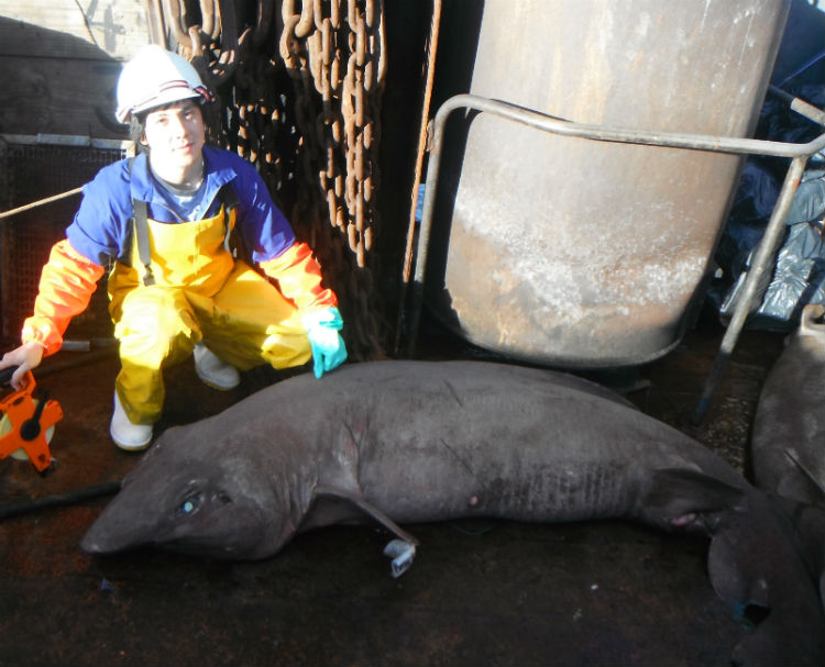 Fishing Expedition Finds Weird Deep-Sea Sharks [LiveScience 2012-08-14]; Image ONLY