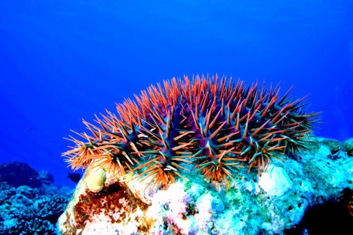 Crown-of-thorns starfish (Acanthaster planci); Image ONLY
