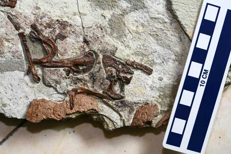 Dinosaur Guts: Photos of a Paleo-Predator, Sinocalliopteryx gigas [LiveScience 2012-08-29]; DISPLAY FULL IMAGE.
