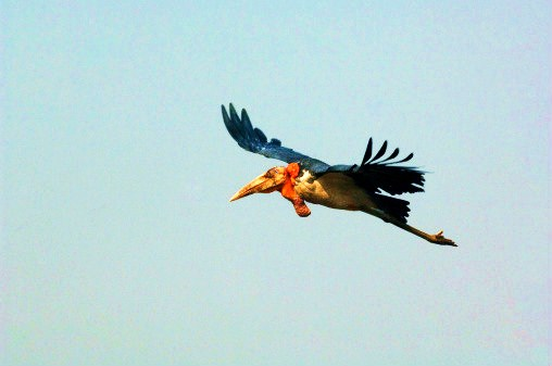 Greater adjutant stork (Leptoptilos dubius); Image ONLY