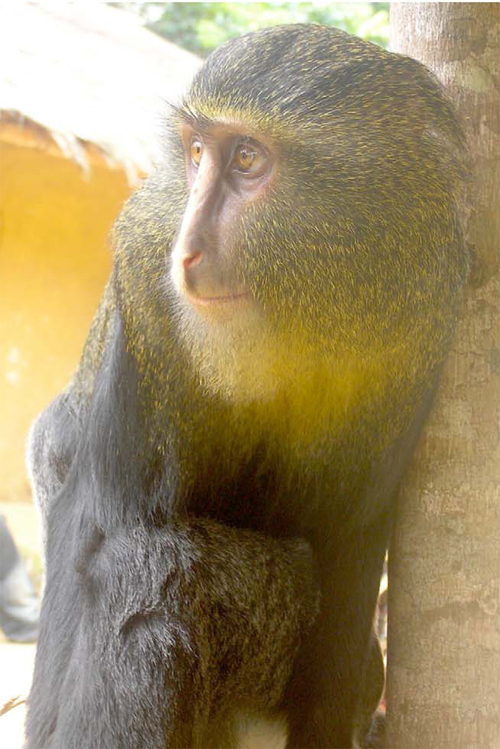 New, Colorful Monkey Species Discovered [LiveScience 2012-09-12]; Image ONLY