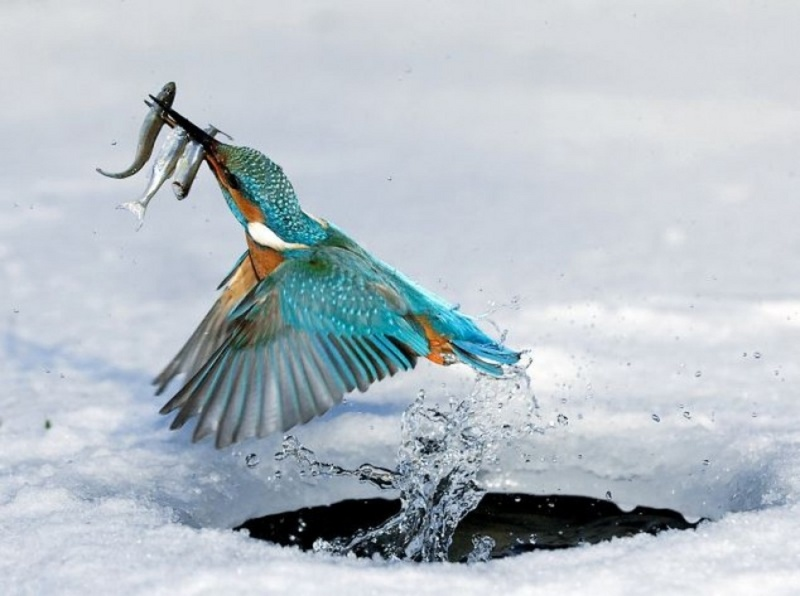 Fish kebab: The kingfisher breaks the surface with a meal of three tasty bites; DISPLAY FULL IMAGE.