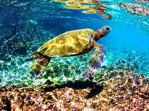 Green turtle (Chelonia mydas); Image ONLY