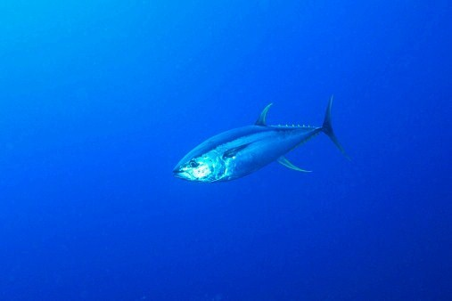 Yellowfin tuna (Thunnus albacares); Image ONLY