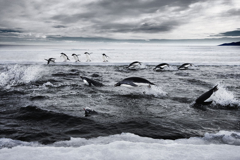 adelie-penguins-ross-sea - Adelie penguin.jpg
