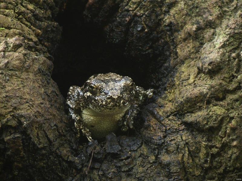 Gray-tree-frog-110720 - grey tree frog, gray treefrog (Hyla versicolor).JPG