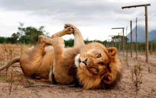 funny lion; Image ONLY