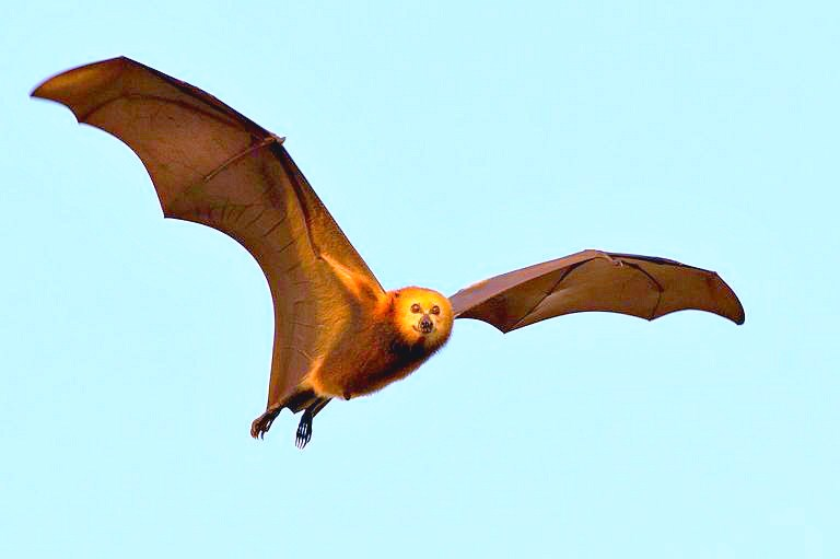 Mauritian flying fox (Pteropus niger) ; Image ONLY