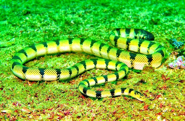 Yellow sea snake (Hydrophis spiralis) ; Image ONLY