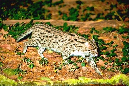 Fishing cat.jpg
