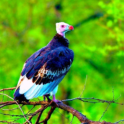 White-headed vulture.jpg