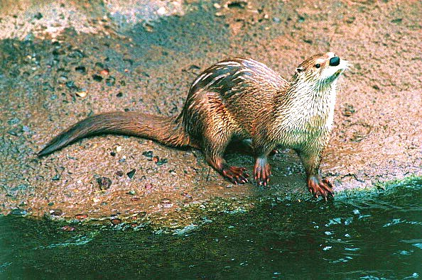 Smooth otter.jpg