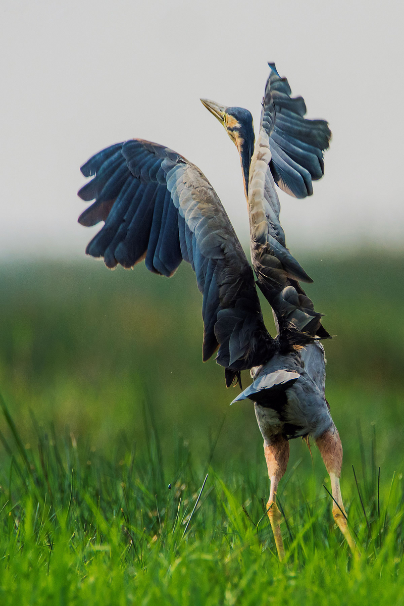 THE DANCING QUEEN - purple heron (Ardea purpurea).jpg