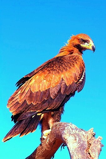 Wedge-tailed eagle (Aquila audax); Image ONLY
