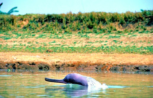 Ganges river dolphin (Platanista gangetica); Image ONLY