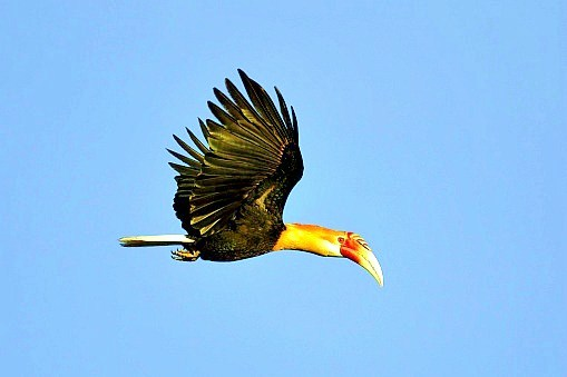 Papuan hornbill (Aceros plicatus); Image ONLY