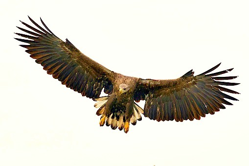White-tailed eagle.jpg