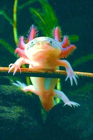 Axolotl (Ambystoma mexicanum); Image ONLY