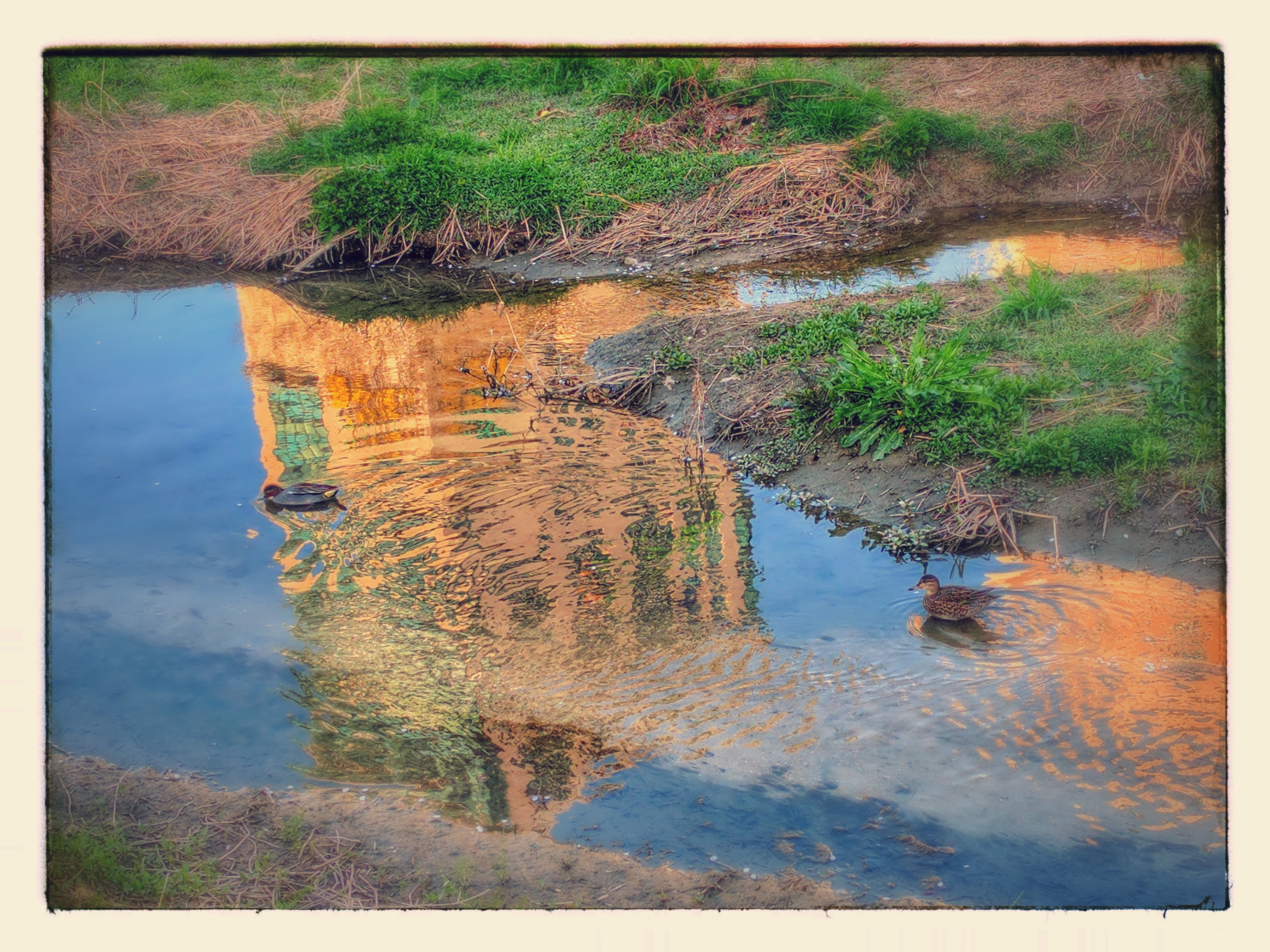 Common teals on the Sunset reflection; Image ONLY