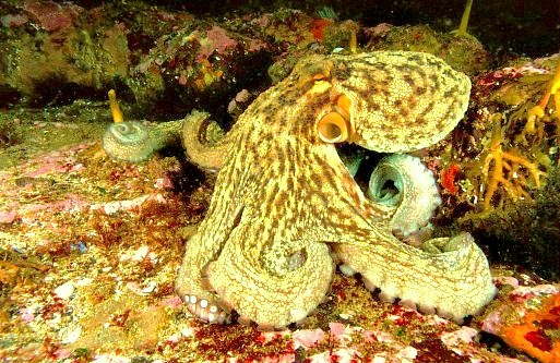 Common octopus (Octopus vulgaris); Image ONLY