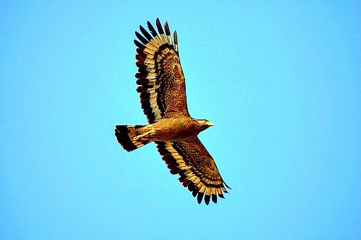 Crested serpent eagle (Spilornis cheela); Image ONLY